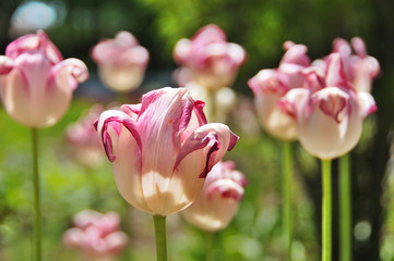 Tulips field is a perennial, bulbous plant with showy flowers in the genus Tulipa, of which up to 109 species