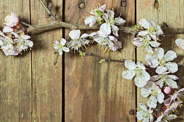 Apricot branch with flowers on a wooden background