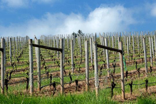 Pinot Noir Vineyards, Oregon