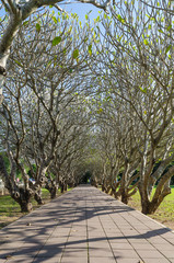 Frangipani tree tunnel and pathway in nan province thailand