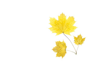 Dried maple leaf isolated
