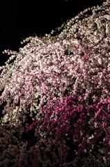 広島の夜桜