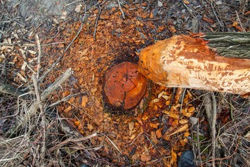 deforestation. broken, fallen tree of beaver in the autumnal forest
