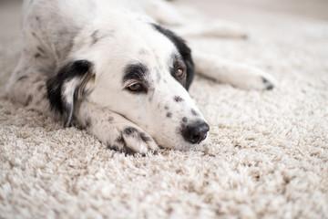 Weißer Hund auf weißem Teppich - müder Hund