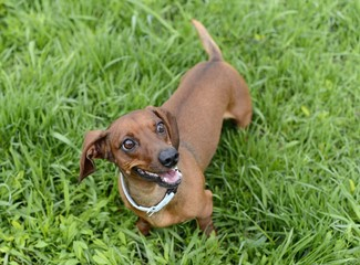 dog breed dachshund