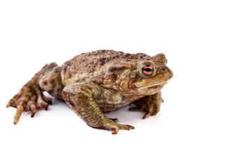 Frog or Common toad