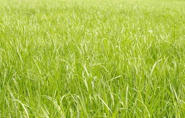 Grünes Gras, Hintergrund, Wiese, hellgrün