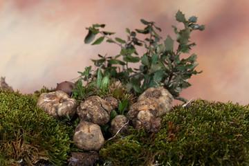 Terfezia arenaria o criadilla de tierra