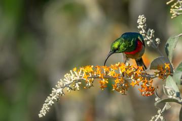 Bindennektarvogel (Marico Sunbird) beim Nektar trinken