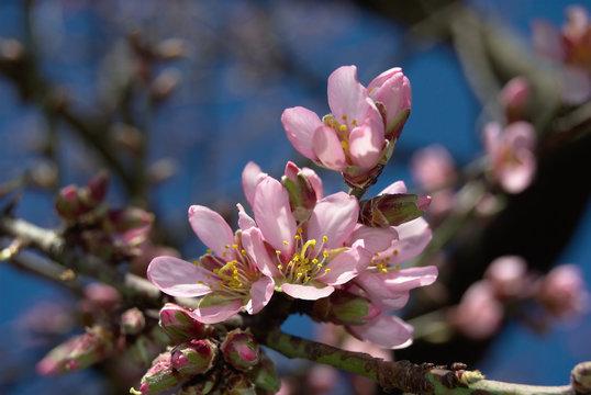 Almendro marcona en flor2
