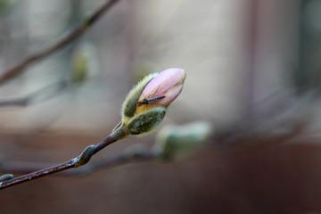 A Magnolia bud in spring with an insect with copy space, selective focus.