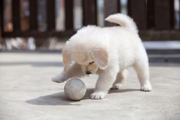 ボールで遊ぶ仔犬