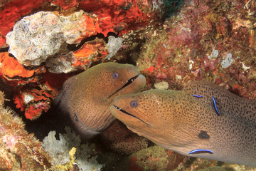 Pair of two Giant Moray Eels