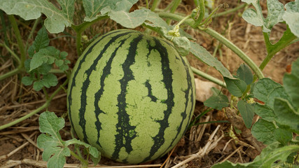 striped watermelon in garden focus on fruit