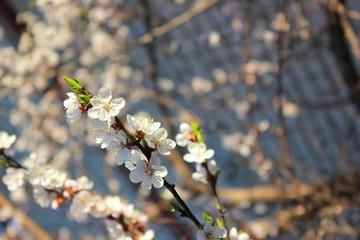 Белые цветы вишни в весной