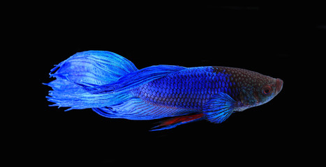 Blue siamese fighting fish , betta isolated on black background.