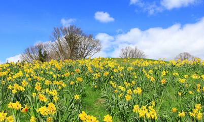 host of daffodils