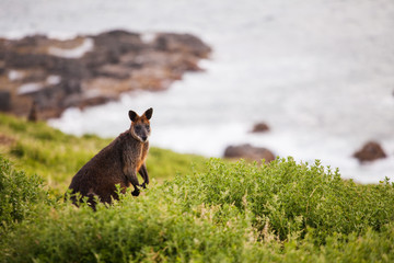 Kangaroo in the grass. Kangaroo Island, Australia