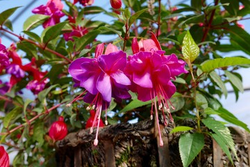 Fuchsia or Onagraceae