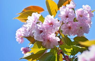Prunus serrulata tree
