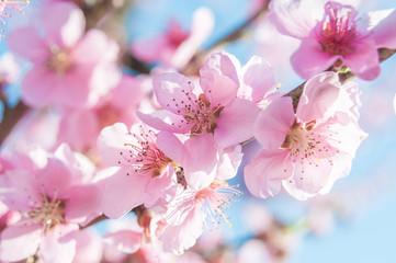 blooming peaches pink flowers macro