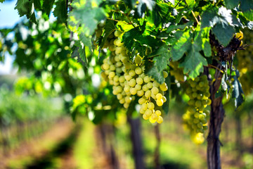 Vineyard row with bunches of ripe white wine grapes.