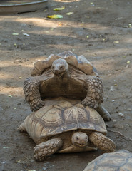 Old turtles mating