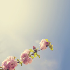 Spring blooming pink roses blossoms tree