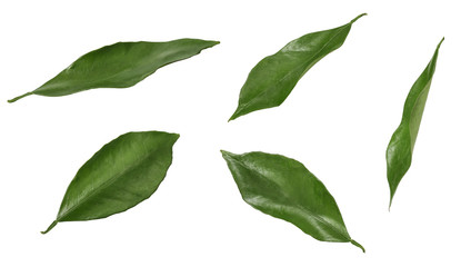Citrus leaves isolated on white