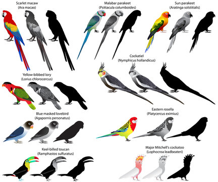 Collection of different species of parrots. Colour and black-and-white vector.