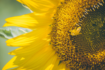 Select focus Pollen of Sunflower.