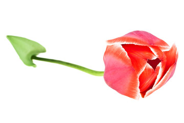 Red tulip with leaves on a white background. Colored tulip, tuli