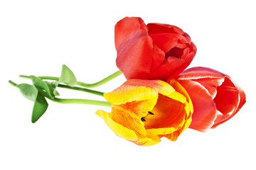 Colored tulip with leaves on a white background. Colored tulip,