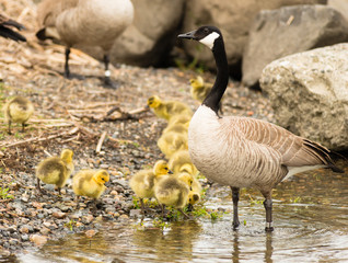 Goose Mother Stands By Offspring Coming Ashore to Rest