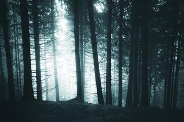 dark pine tree forest