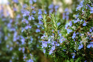 blossoming rosemary plants in the herb garden