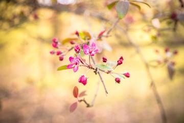 Zierapfel - Blüten