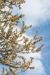 Pussy willow against blue sky