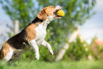 Beagle dog catching a ball