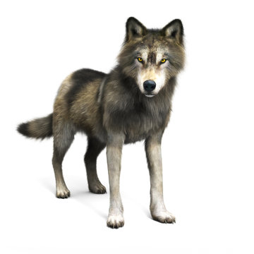 Rendering of a brown wolf on a white background. 3d rendering