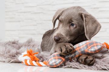 Supersüßer Hundewelpe mit Spielzeug