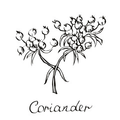 Vector coriander illustration. Chinese parsley. Hand drawn coriander sketch. Coriander plant. Vector coriander seeds. Coriander and leaves illustration. Cilantro in vector. Isolated on White.