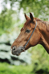 Red horse portrait in bridle