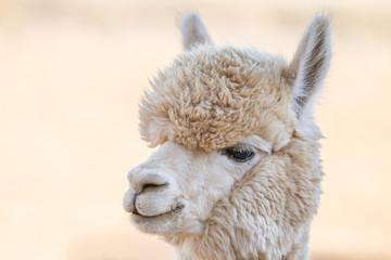 Fotorolgordijn Lama Close up of an alpaca