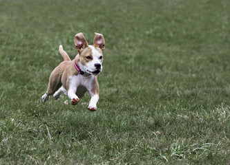 Boxer Pit Bull mixed breed dog running in grass