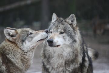 schnuppernder Wolf