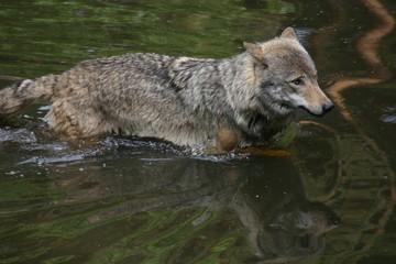 schwimmender Wolf