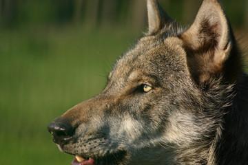 stechender Wolfsblick