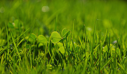 Spring clover leaves in green grass