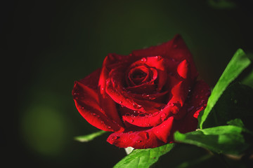 Summer background with beautiful red rose, blurred image, select